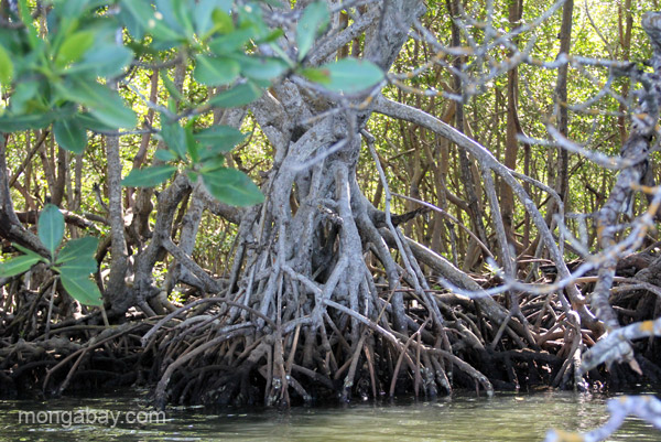 Mangroves in the Estero Hondo Marine Sanctuary in the Dominican Republic.