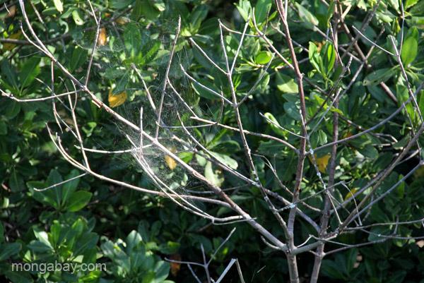 A spider web on mangroves in the Estero Hondo Marine Sanctuary in the Dominican Republic.