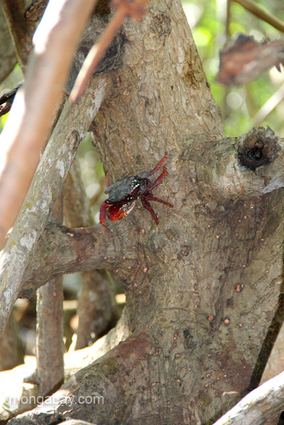 A crab on the mangroves in the Estero Hondo Marine Sanctuary in the Dominican Republic.