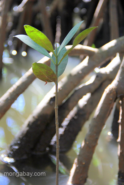 A new mangrove tree grows in the Estero Hondo Marine Sanctuary in the Dominican Republic. Photo by Tiffany Roufs / mongabay.com