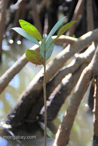 A new mangrove tree grows in the Estero Hondo Marine Sanctuary in the Dominican Republic.