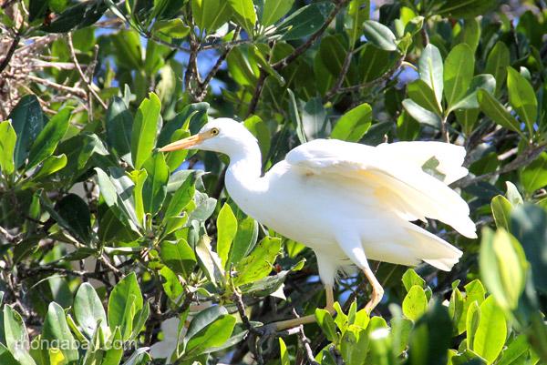A cattle egret in mangrove trees in Estero Hondo Marine Sanctuary in the Dominican Republic.