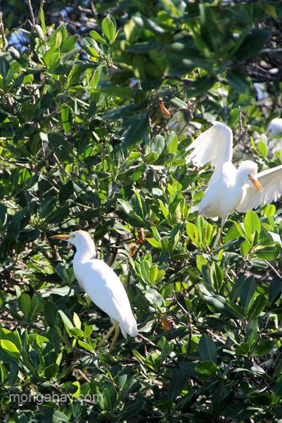 Cattle egrets nesting in mangrove trees in Estero Hondo Marine Sanctuary in the Dominican Republic.
