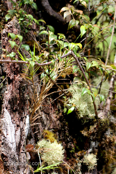 The Ebano Verde (green ebony) Tree in the Ebano Verde Scientific Reserve in the Dominican Republic.