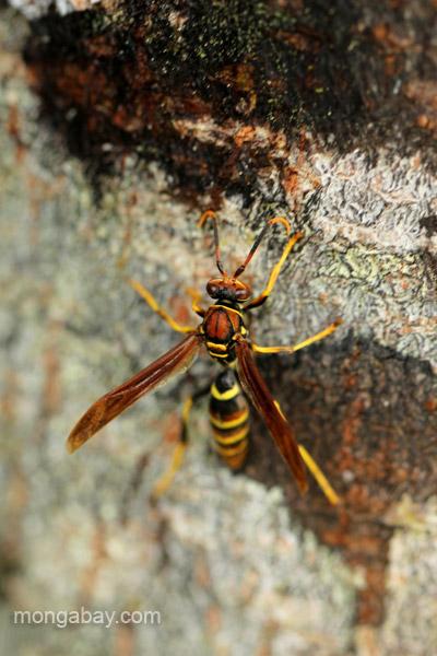 A wasp in the Ebano Verde Scientific Reserve in the Dominican Republic.