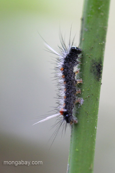A caterpillar in the Ebano Verde Scientific Reserve in the Dominican Republic.