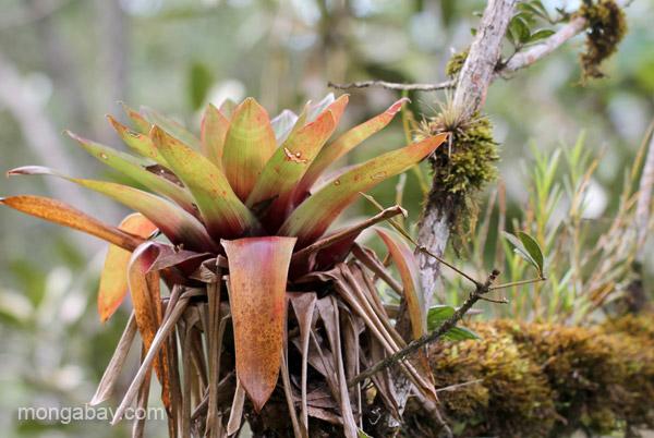 A bromeliad in the Ebano Verde Scientific Reserve in the Dominican Republic.