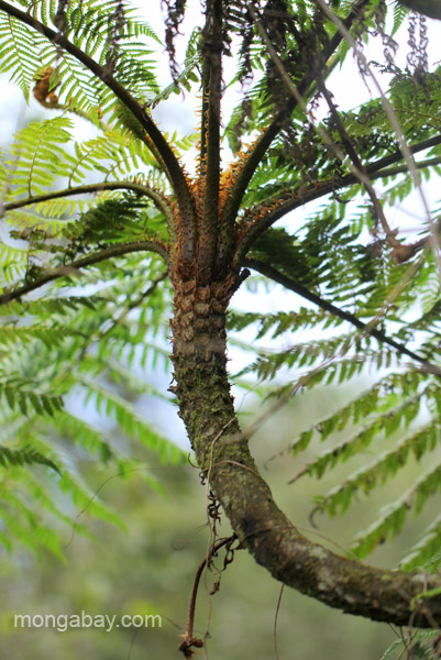 A tree fern in the Ebano Verde Scientific Reserve in the Dominican Republic.