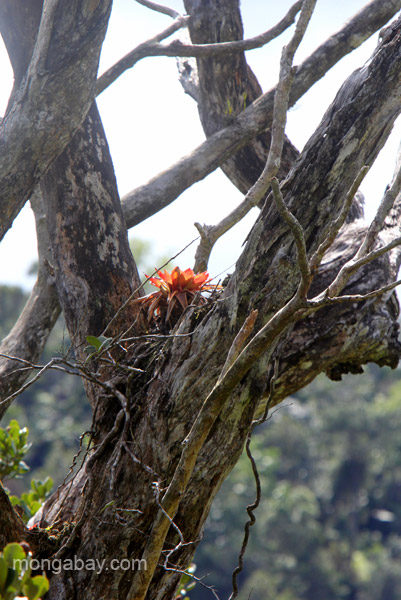 A tree with bromeliads in the Ebano Verde Scientific Reserve in the Dominican Republic.