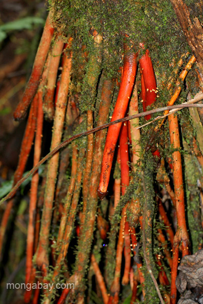 Red roots of a tree in the Ebano Verde Scientific Reserve in the Dominican Republic.