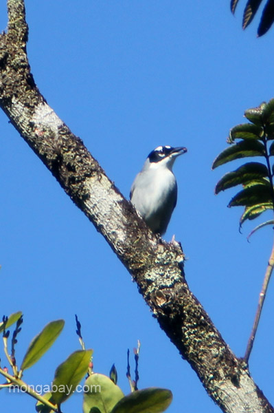 A bird in the Ebano Verde Scientific Reserve in the Dominican Republic.