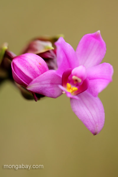 A wild orchid in the Ebano Verde Scientific Reserve in the Dominican Republic.