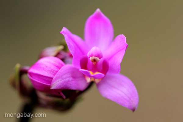 A wild orchid in the Ebano Verde Scientific Reserve in the Dominican Republic.