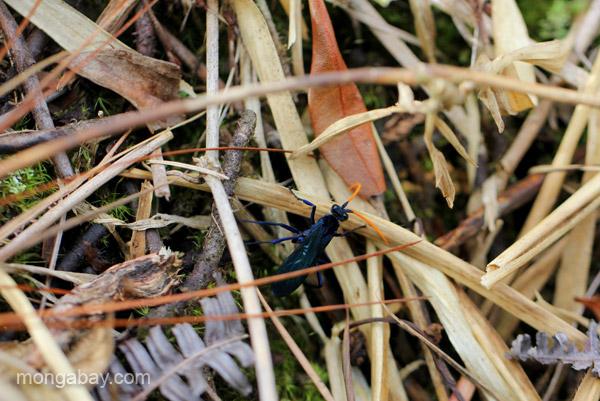 A bright blue beetle in the Ebano Verde Scientific Reserve in the Dominican Republic.