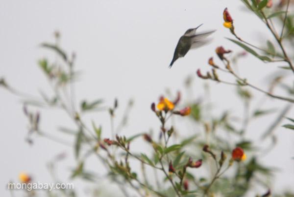 A Vervain Hummingbird (Mellisuga minima), the second smallest hummingbird in the world, in the Ebano Verde Scientific Reserve in the Dominican Republic.