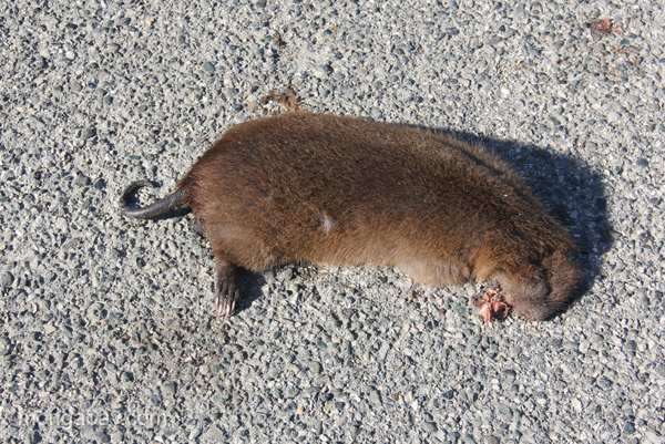A dead hutia hit by a car in the Dominican Republic.  This body was found in a part of the country that hutia were not previously thought to occupy.