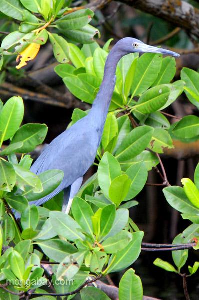 A Little Blue Heron (Egretta caerulea) Los Haitises National Park in the Dominican Republic.