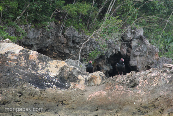 Turkey vultures in Los Haitises National Park in the Dominican Republic.