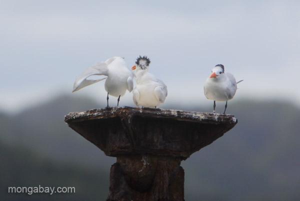 Royal Terns (Thalasseus maximus) Los Haitises National Park in the Dominican Republic.