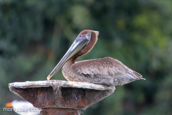 A pelican in Los Haitises National Park in the Dominican Republic.