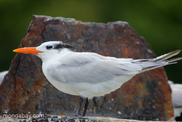 Royal Terns (Thalasseus maximus) Los Haitises National Park in the Dominican Republic.