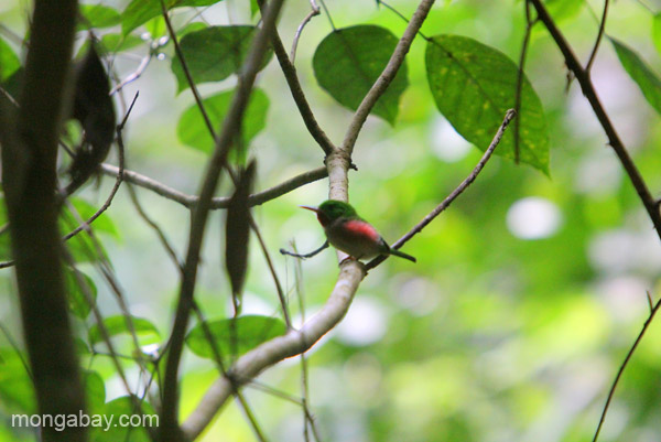 A young Narrow-billed Tody (Todus angustirostris) in Los Haitises National Park in the Dominican Republic.