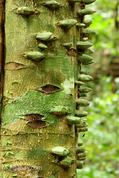 A tree in the rainforest of Los Haitises National Park in the Dominican Republic.
