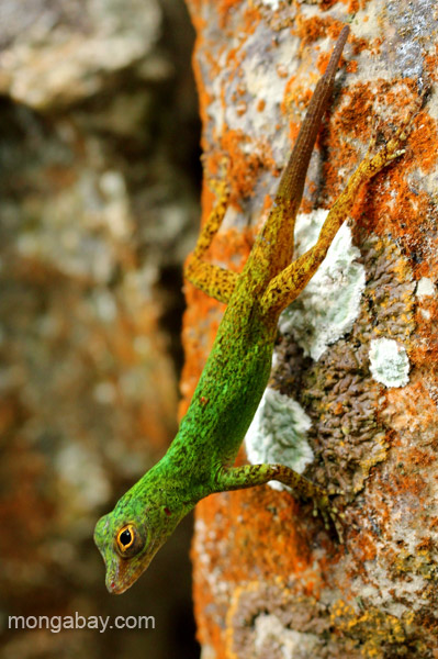A brilliantly colored lizard in Los Haitises National Park in the Dominican Republic.