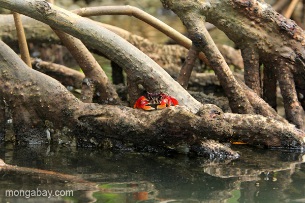 A crab on the mangroves in Los Haitises National Park in the Dominican Republic.