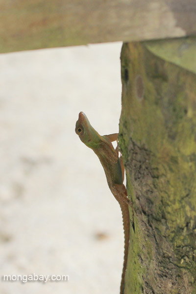A lizard in Los Haitises National Park in the Dominican Republic.