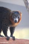 Male mongoose lemur (Eulemur mongoz) [madagascar_ankarafantsika_0002]