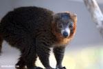 Male mongoose lemur (Eulemur mongoz) [madagascar_ankarafantsika_0004]
