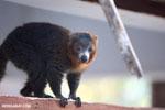 Male mongoose lemur (Eulemur mongoz) [madagascar_ankarafantsika_0005]