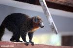 Male mongoose lemur (Eulemur mongoz) [madagascar_ankarafantsika_0006]