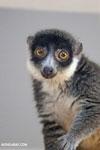 Female mongoose lemur (Eulemur mongoz) [madagascar_ankarafantsika_0011]