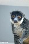 Female mongoose lemur (Eulemur mongoz) [madagascar_ankarafantsika_0013]