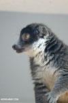 Female mongoose lemur (Eulemur mongoz) [madagascar_ankarafantsika_0019]