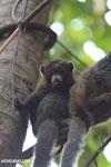 Male mongoose lemur (Eulemur mongoz) [madagascar_ankarafantsika_0027]
