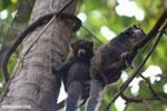 Pair of mongoose lemurs [madagascar_ankarafantsika_0029]