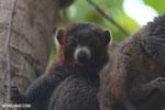 Male mongoose lemur (Eulemur mongoz) [madagascar_ankarafantsika_0030]