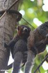 Male mongoose lemur (Eulemur mongoz) [madagascar_ankarafantsika_0032]