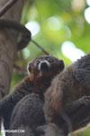 Male mongoose lemur (Eulemur mongoz) [madagascar_ankarafantsika_0033]
