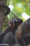 Male mongoose lemur (Eulemur mongoz) [madagascar_ankarafantsika_0034]