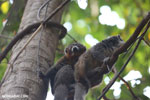 Pair of mongoose lemurs [madagascar_ankarafantsika_0036]