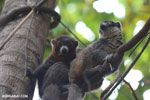 Pair of mongoose lemurs [madagascar_ankarafantsika_0037]