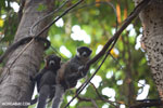 Pair of mongoose lemurs [madagascar_ankarafantsika_0039]