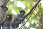Pair of mongoose lemurs [madagascar_ankarafantsika_0040]