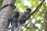 Pair of mongoose lemurs [madagascar_ankarafantsika_0041]