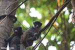 Pair of mongoose lemurs [madagascar_ankarafantsika_0042]