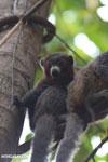 Male mongoose lemur (Eulemur mongoz) [madagascar_ankarafantsika_0046]
